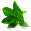 Peppermint or Spearmint